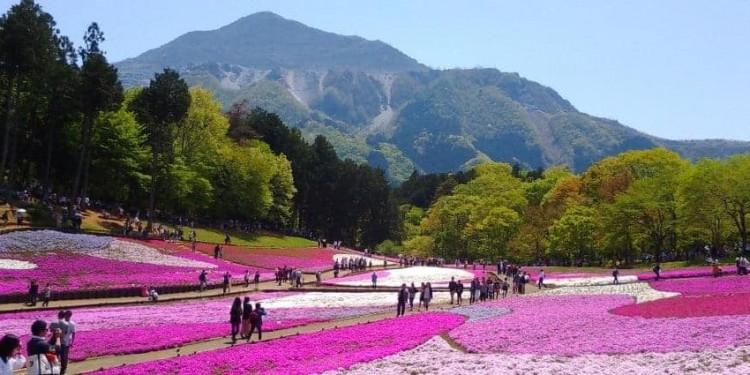 """Cùng ngắm """"biển"""" hoa chi anh của công viên Hitsujiyama"""