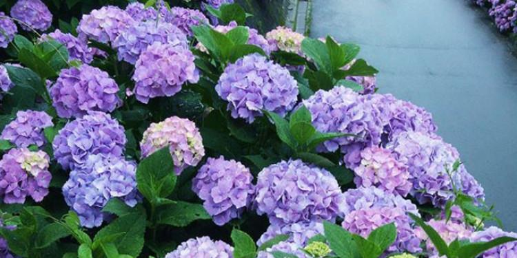 Loài hoa xinh đẹp vào mùa mưa của nước Nhật